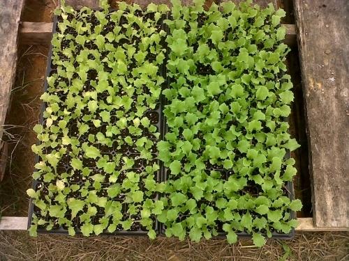 H_Test - Lettuce Trinadad